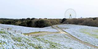Millions of <b>blue flowers</b> are blooming in a Japanese park - Insider