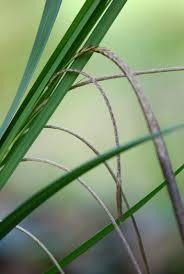Drooping sedge (Carex pendula) - WeedWise Program