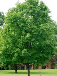 Image result for Mountain Maple Tree