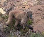Images & Illustrations of chacma baboon