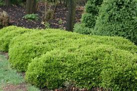 Buxus microphylla 'Rococo' - photo: Didier Hermans - Buxus-microphylla-%25E2%2580%2598Rococo%25E2%2580%2599-photo-Didier-Hermans