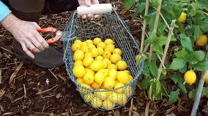 lemon tree x: growing meyer lemons in containers picking lemons growing meyer lemons in containers