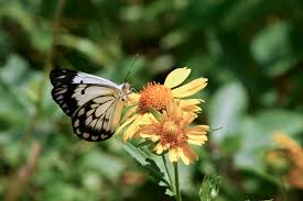 butterflies swarm eastern in large scale migration pbs butterflies swarm eastern in large scale migration pbs newshour