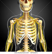 Image result for ribcage