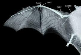 <b>New</b> 3D <b>bat wing</b> model could inspire next generation aircraft The ...