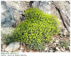 Euphorbia spinosa | Herbarijum | Dry garden, Plants, Flora