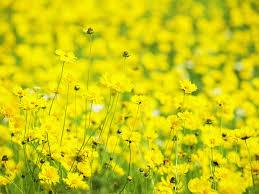 Resultado de imagen para Lluvia de flores amarillas