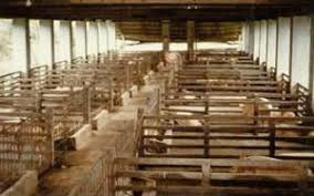 Pigs  new    animal welfare information    Infonet Biovision Home Sows in group housing on a large farm