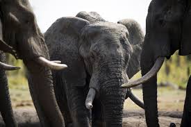 Zimbabwe Considers Mass <b>Elephant</b> Killing, First Time Since 1988 ...