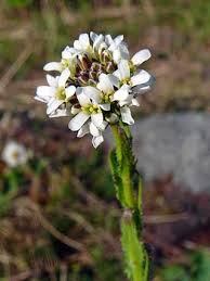 Hairy Rockcress, Arabis hirsuta - Flowers - NatureGate