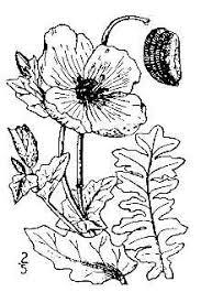 Plants Profile for Glaucium flavum (yellow hornpoppy)