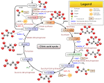 krebs citric acid cycle