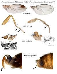 Moucheron asiatique