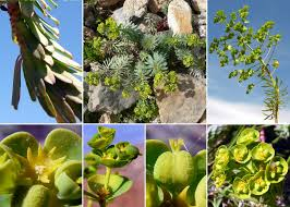 Euphorbia pinea L. - The flora of the Asinara National Park (Sardinia ...