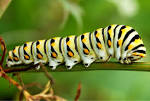 Image result for caterpillars