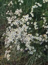 Tanacetum corymbosum (L.) Schultz Bip. subsp. corymbosum