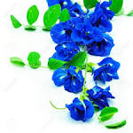 Images & Illustrations of blue pea