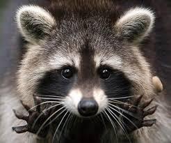 """Résultat de recherche d'images pour """"gifs raton laveurs"""""""
