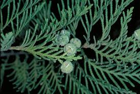 Chamaecyparis lawsoniana Calflora