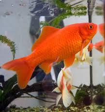 <b>Золотая рыбка</b> — Википедия