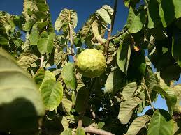 Znalezione obrazy dla zapytania baobab owoce