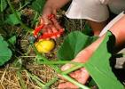 Potimarron : semis, plantation, culture et rcolte - Jardiner Malin
