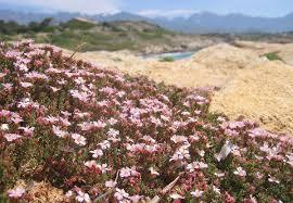 Frankeniaceae – Wikipédia, a enciclopédia livre