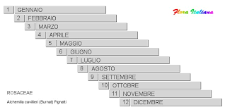Alchemilla cavillieri [Ventaglina di Cavillier] - Flora Italiana