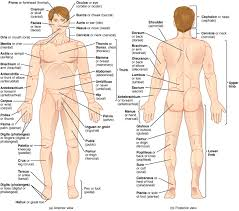 anatomical terminology this illustration shows an anterior and posterior view of the human body the cranial region