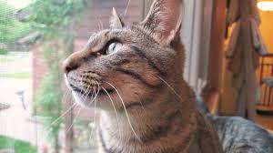 <b>Cat</b> Chirping and Chattering <b>at</b> the Birds <b>Outside</b> on <b>Cat</b> TV - YouTube