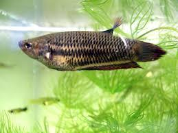 <b>Бойцовая рыбка</b> — Википедия