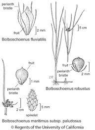 Bolboschoenus maritimus subsp. paludosus