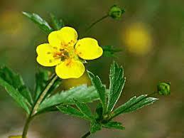 TORMENTIL - Potentilla erecta - medicinal herbs