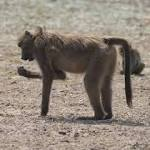 I shot a whole family of baboons: Idaho Fish and Game official resigns amid fury over Africa trophy hunting boasts