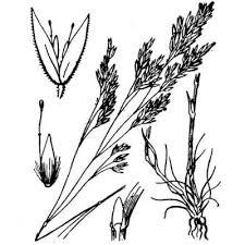 Genere Corynephorus - Flora Italiana