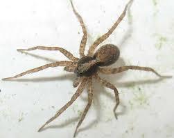 Résultats de recherche d'images pour «photo araignée loup»