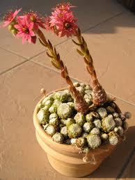 Crassulaceae - Wikipedia