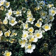 R. spinosissima | Wild Rose | David Austin Roses