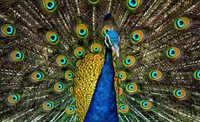 Peafowl - Wikipedia