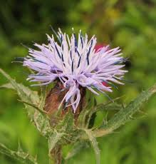 Carduncellus coeruleus (Blue Thistle) : MaltaWildPlants.com - the ...