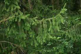 Picea abies - Michigan Flora