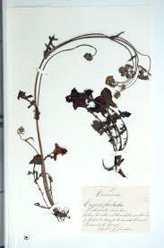 Erbario Ariosto - Crepis foetida L.