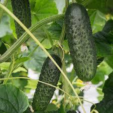 <b>Огурец Атик F1</b> (Bejo) - купить <b>семена</b> из Голландии оптом ...