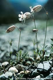 Silene vulgaris subsp. glareosa (Jord.) Marsden-Jones & Turrill