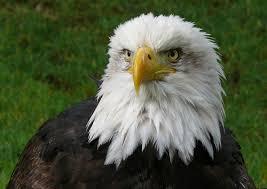 <b>Eagle</b> - Wikipedia