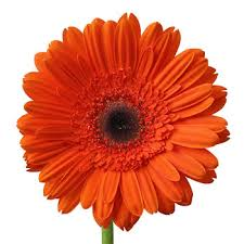 Dark <b>Orange</b> Super <b>Gerbera</b> Daisy | FiftyFlowers.com