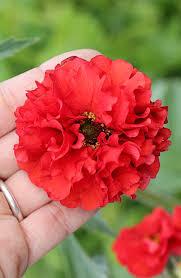 Geum quellyon var. flora plena 'Blazing Sunset' - Buy Online at ...