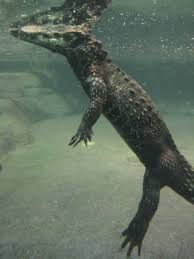 Can you stay underwater with a crocodile?