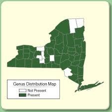 Erigeron - Genus Page - NYFA: New York Flora Atlas - NYFA: New ...