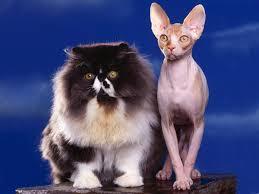 """Képtalálat a következőre: """"macskakiállítás"""""""
